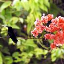 Le colibri et le bougainvillier - 1 - Photo : Renée