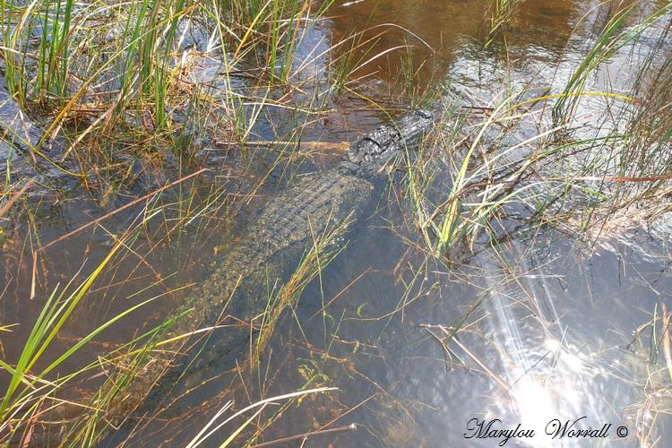 Floride : Une matinée aux Everglades