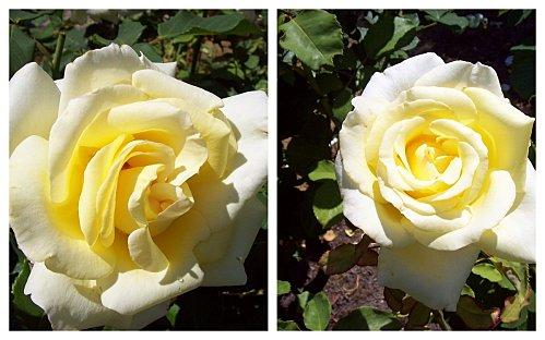 2 rose jaunes le 6 juin 2011