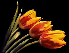 Virágok - Tulipán