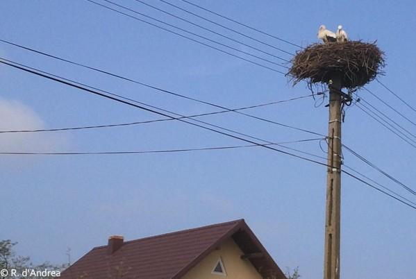 Cigognes sur la route de Campulung