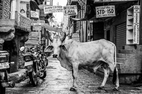 06 - Des vaches dans le monde