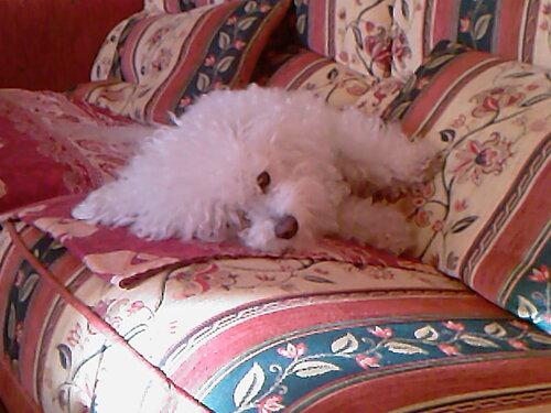 Lady,ma petite chienne chérie.