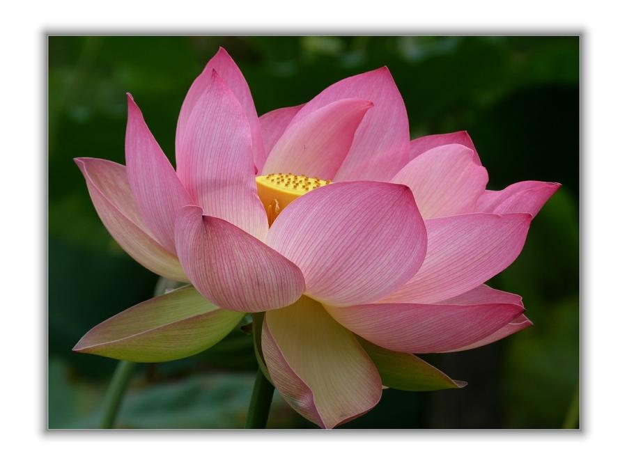 Lotus (1 )