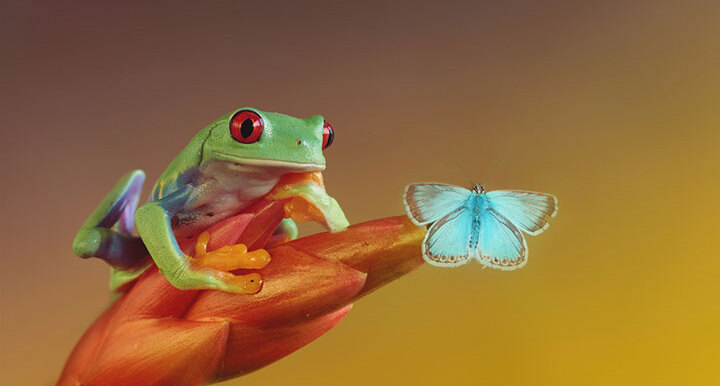 grenouille-animal-photo-macro12