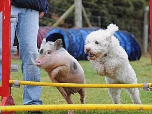 cochon.png