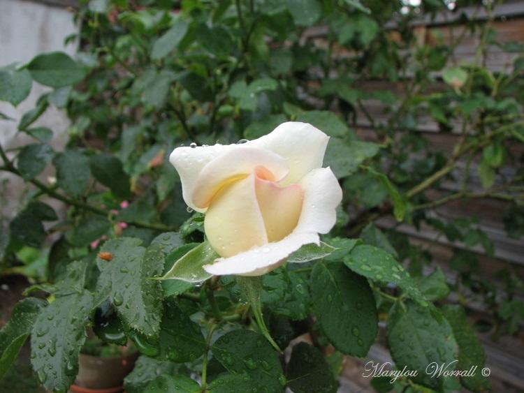 Ingersheim : Retour au Jardin
