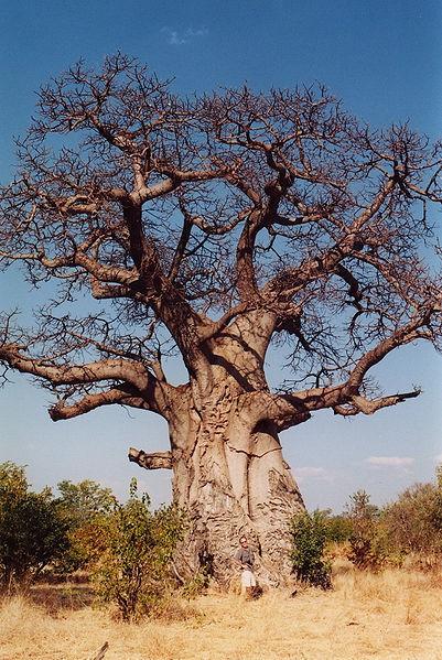 401px-Baobob tree