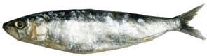 Les sardines