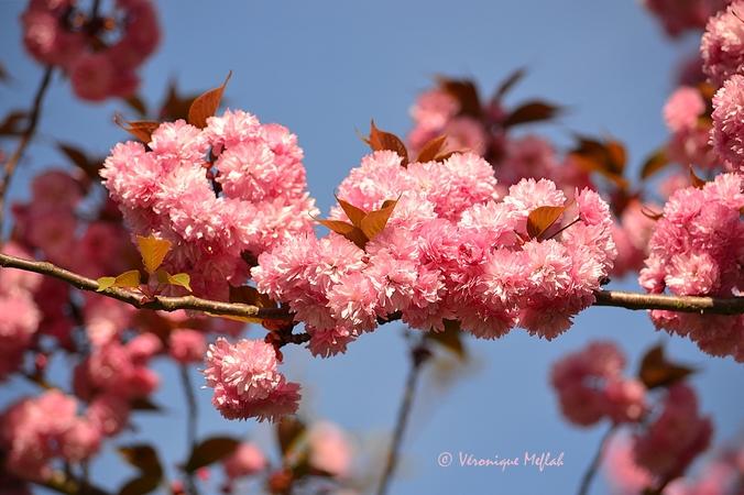 Parc Floral de Paris : Le cerisier du japon, Prunus serrulata