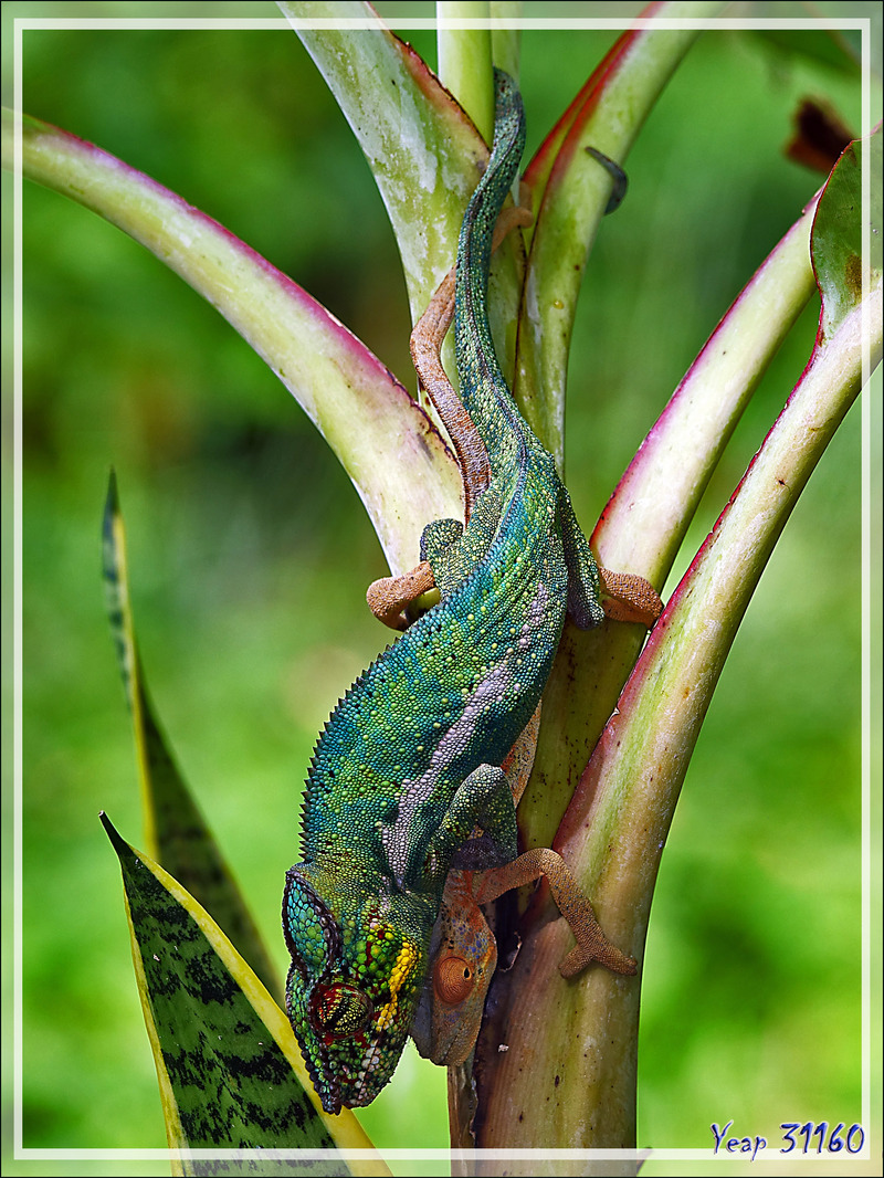 Câlin coquin de Monsieur Caméléon panthère mâle à Madame, Panther chameleon in copula (Furcifer pardalis) - Nosy Be - Madagascar