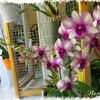 Dendrobium_sunny_cocktail_01