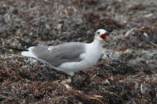 Mouette Atricille (Laughing Gull)