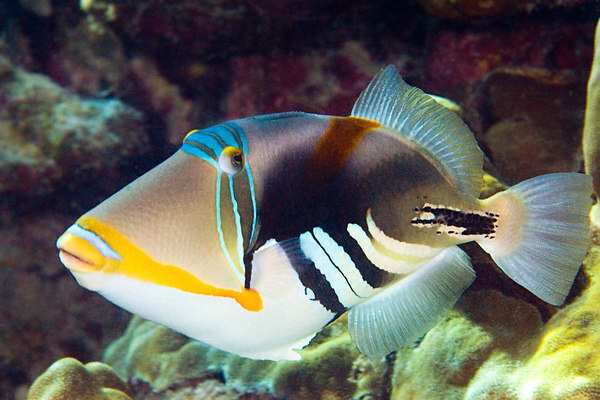 http://sjfaquatics.co.uk/components/com_jshopping/files/img_products/full_Humu_Picasso_Triggerfish__Rhinecanthus_aculeatus_.jpg