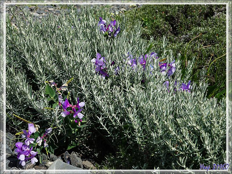 Vesce de la Cordillère, Wild-blue pea, Arvejilla de Cordillera, Clarincillo (Lathyrus magellanicus) - Parque de Torres del Paine - Patagonie - Chili