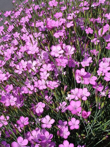 450px-Dianthus deltoides1a UME