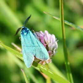 Turquoise des Oseilles ou Turquoise de la Sarcille ou Adscita Statices