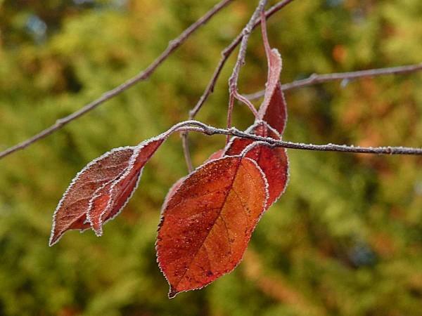 Nicoline feuilles
