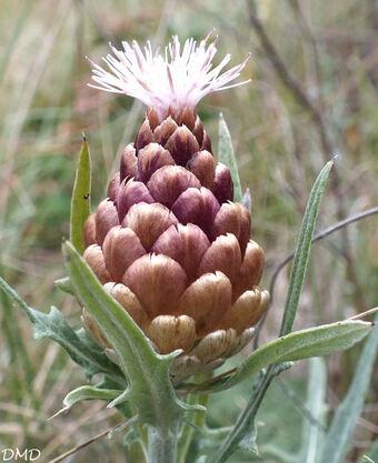 Leuzea conifera - leuzée conifère