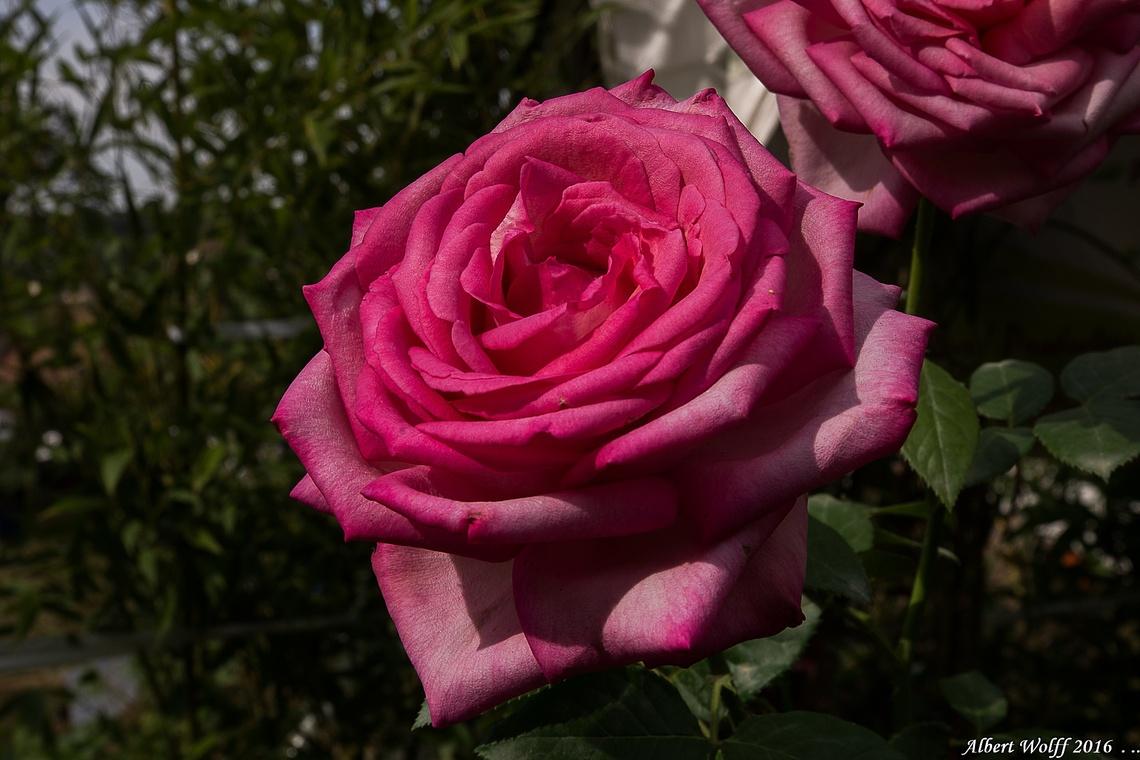 Arlay en roses