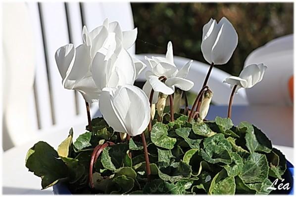 Fleurs-2-4829--cyclamen.jpg