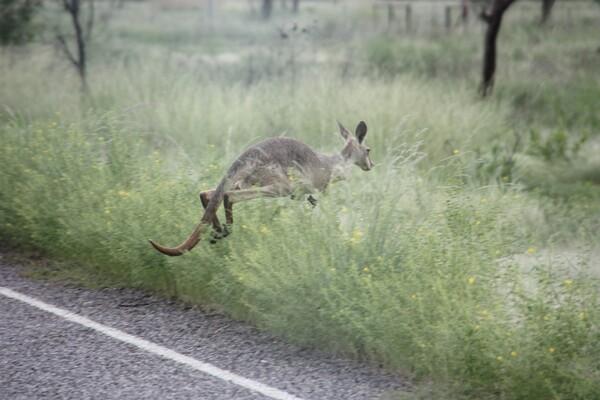 animaux kangourou route 50 (115)