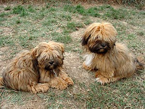 gd lhassa apso 1-copie-1