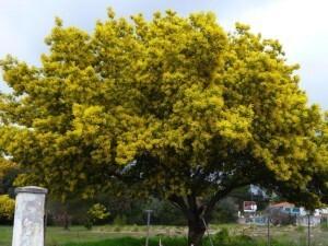 mimosa (3)