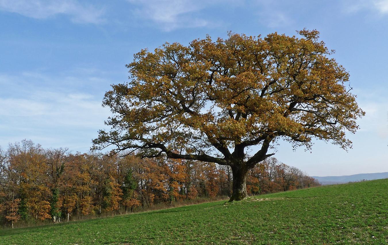 Au tour des chênes ...