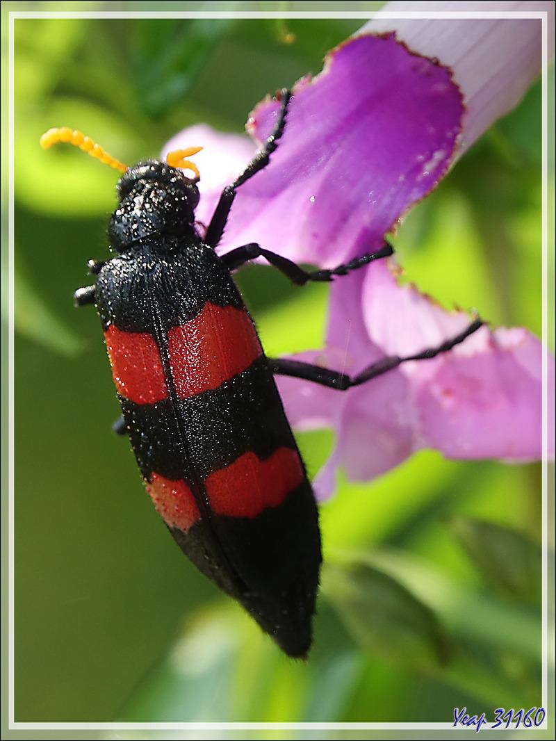 Mylabre à deux bandes, Two-banded Blister Beetle (Mylabris bifasciata) - Chutes Victoria - Zimbabwe