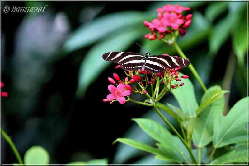 Papillons tropicaux Heliconius charitonius