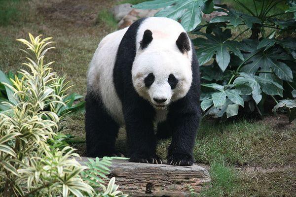 Panda-geant.JPG