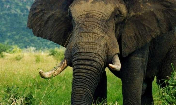 Un chasseur meurt écrasé par un éléphant qui vient d'être abattu