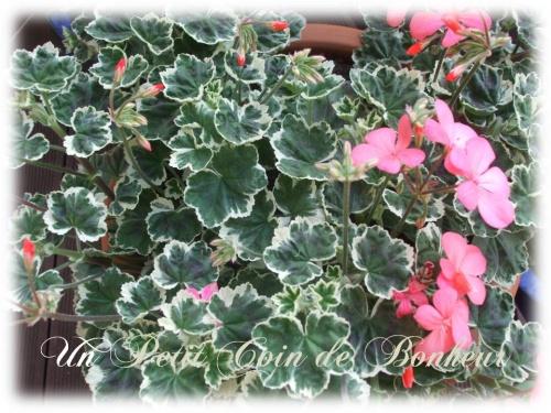 geranium panaché