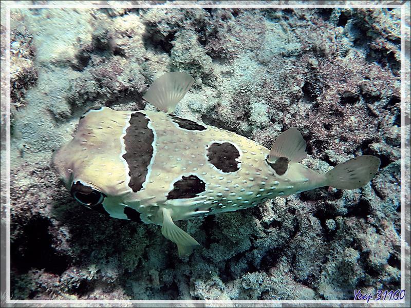 Poisson porc-épic à taches auréolées ou Diodon à taches auréolées, Black-blotched porcupinefish (Diodon liturosus) - Snorkeling à Moofushi - Atoll d'Ari - Maldives