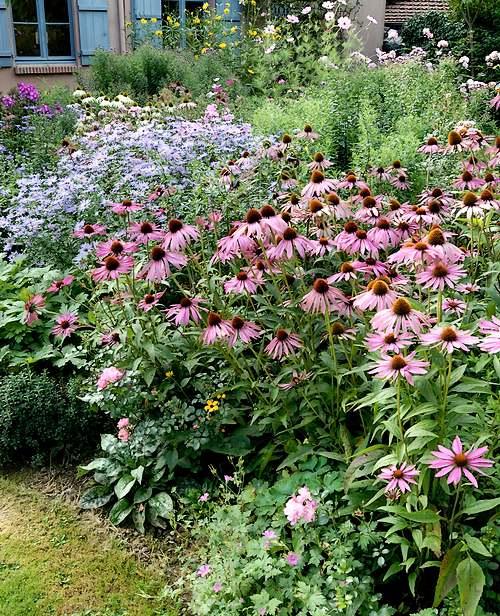 Fleurs cultivées : Echinacée