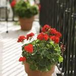 **** Les GERANIUMS & PELARGONIUMS ****