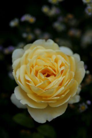 Roseraie - Juillet (4/5)
