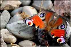 Le Paon du Jour Aglais io Nymphalidae