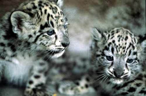 leopard-neiges-210975034f.jpg