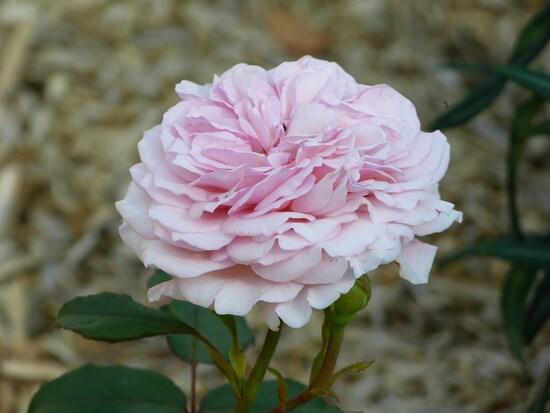 Une rose est née