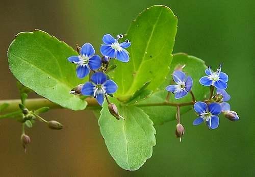 Vertus médicinales des plantes sauvages : Véronique Beccabunga