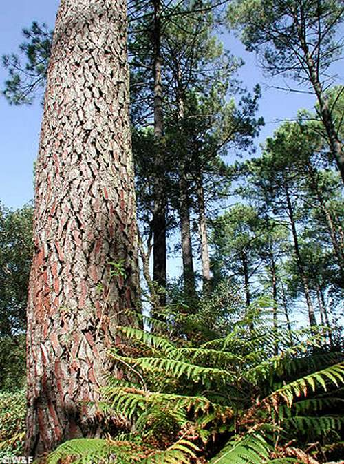 Vertus médicinales des arbres : Pin maritime
