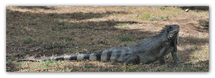 L'Iguane des Petites Antilles