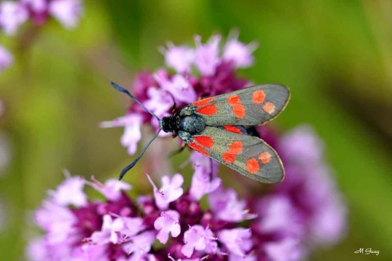 papillon-zygene-5838.jpg