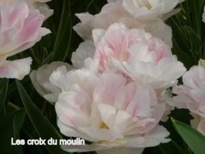 Tulipes (6)