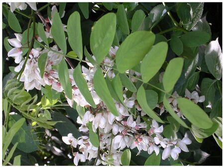 acacias2