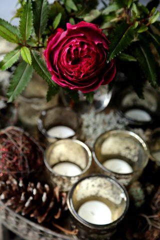 Rose de Noël ou presque