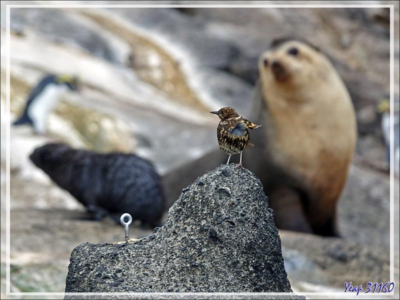 Grive de Tristan da Cunha, Tristan da Cunha Thrush (Turdus eremita) et ... le piton d'escalade - Nightingale Island - Tristan da Cunha