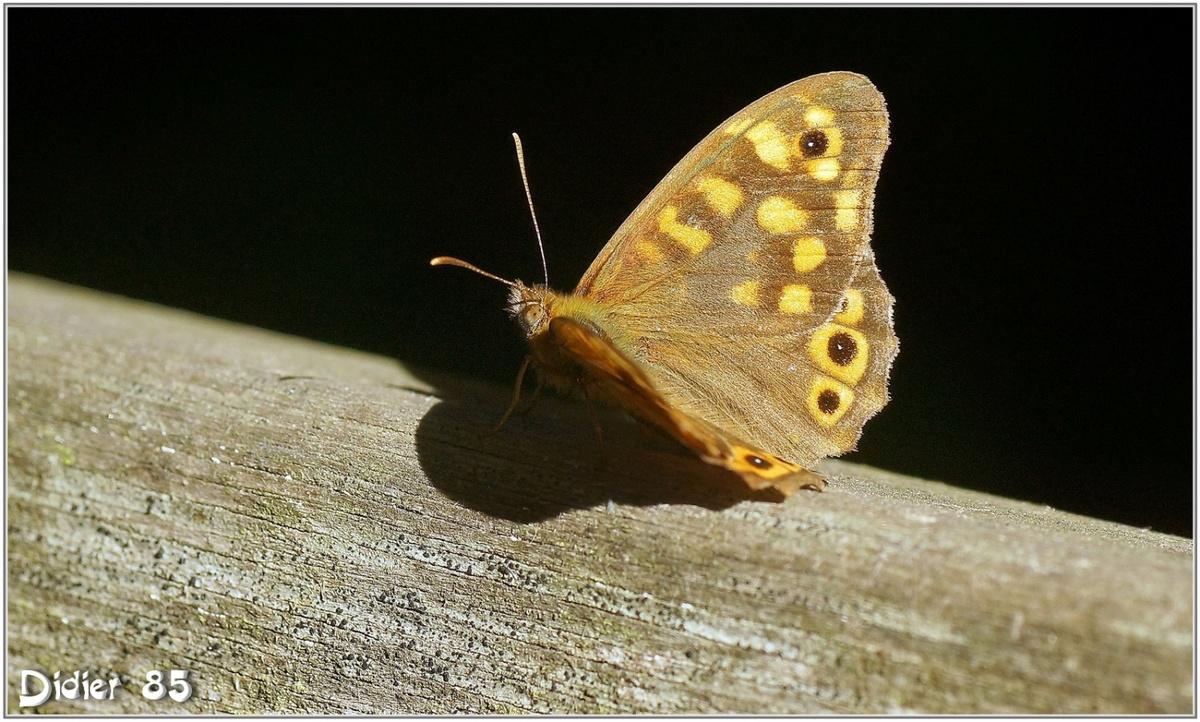 Tircis (3) - Pararge aegeria / Posé sur un banc